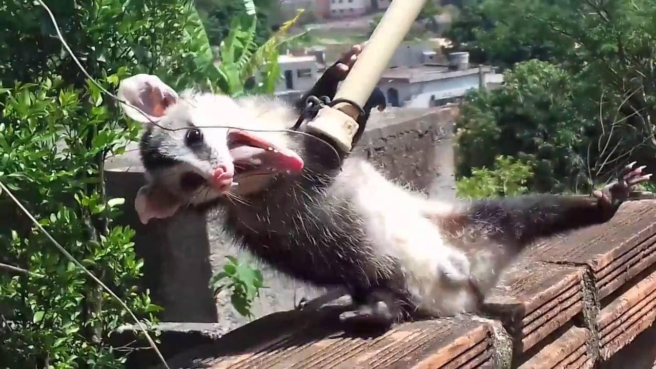 Sarue Animal Gamba Capturando E Devolvido A Mata Youtube
