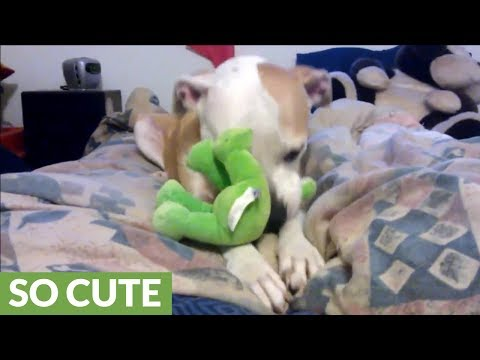 Sweet Pit Bull Adorably Suckles On Stuffed Animal