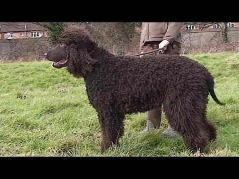 Dog Breed Video: Irish Water Spaniel