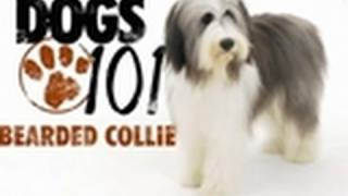 Dogs 101  Bearded Collie