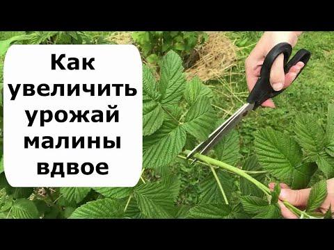 479. Как увеличить урожай малины вдвое