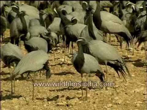 Group of Demoiselle Cranes