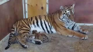 В Екатеринбургском цирке тигрица родила четырёх котят