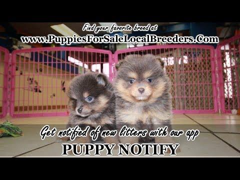 Blue Pomeranian Puppies For Sale Georgia Local Breeders Near