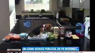 Un Câine Din Rasa Beagle Face Senzație Pe Internet