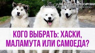 Кого выбрать - Хаски, Маламута или Самоеда? Какая порода собаки лучше? Основные отличия
