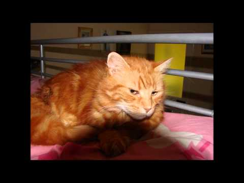 SPOOK R.I.P. 7 TOED POLYDACTYL CAT