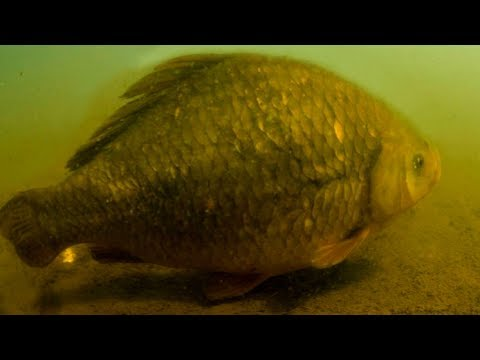 Поймал КРУПНОГО КАРАСЯ на 5кг 450гр!!! | Самая Большая в Мире пойманная Рыба