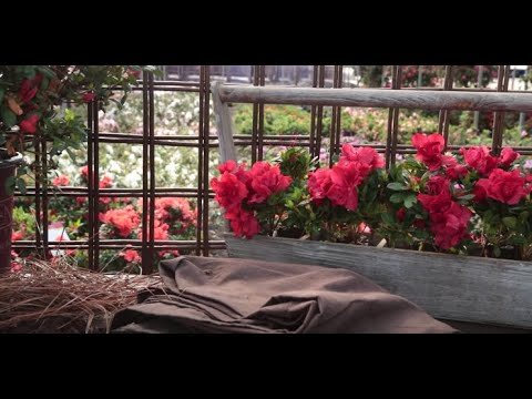 How To Care For Encore Azaleas In Winter Youtube