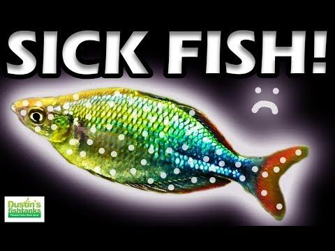 SICK FISH: How To Treat Sick Aquarium Fish With Ich