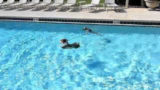 Sophie Learning Improvised Water Rescue From Pawfection Dog Training Usa