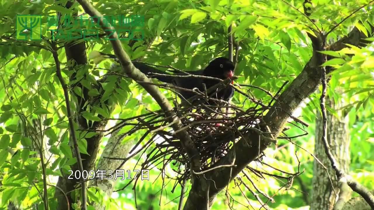 臺北市立動物園_臺灣藍鵲_藍鵲築巢 - YouTube