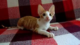 Котёнок корниш-рекс