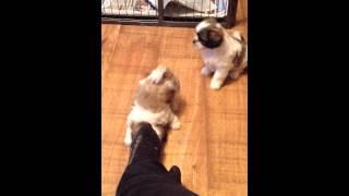 Gizmo's Shih Tzu X Pomeranian Puppies