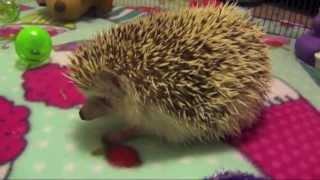 Toys For Hedgehogs