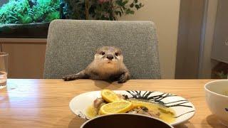 カワウソさくら と 夜ご飯食べてたら対面に着席してきた Otter like having a meal together at a table
