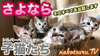 重大な報告となります。 シルバーベンガルの子猫たちとの別れ。 視聴者様にお伝えするべきかギリギリまで悩みました。 動画内にて詳しくお話...