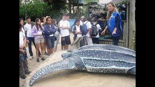 Кожистая черепаха – это самая крупная в мире черепаха длину тела 2,6 метра, а массу порядка 920 кг