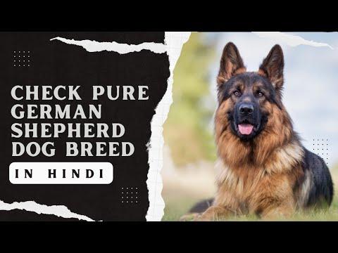 Check pure german shepherd dog breed in hindi | जरमन सैफहड कुत्ते की पहचान कैसे करें |