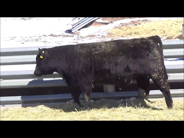 Connealy Angus Lot 111