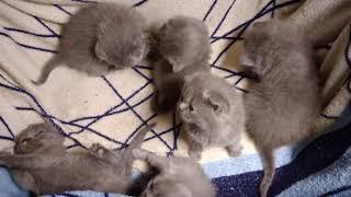 |Архив| ТАЙНАЯ ЖИЗНЬ ДОМАШНИХ ЖИВОТНЫХ - Британская кошка и Британские котята