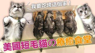 美國短毛貓の療癒食堂 【麻糬一家】