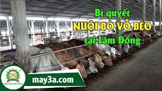 Nuôi bò vỗ béo làm giàu - Mô hình nuôi bò vỗ béo