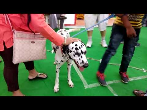 dalmatians dogs breeds | dalmatians | dog | fun | top dog | best auditons | الكلب |