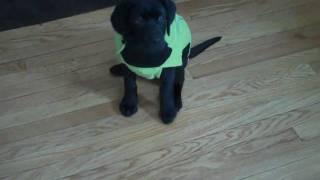 Black Labrador Puppy- Cute Jacket