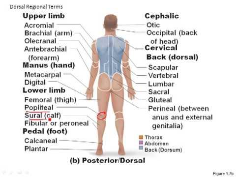 Anatomical Regions Youtube