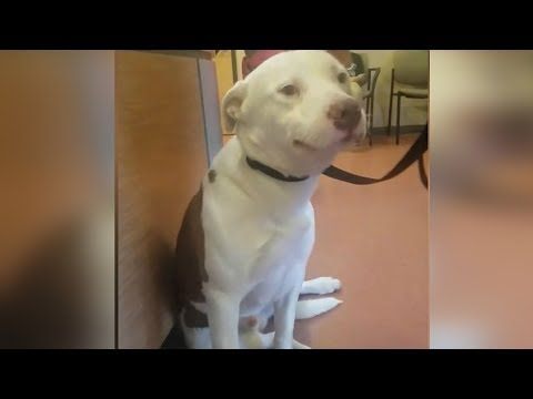 Heartbreaking Moment This Pit Bull Realizes His Family Is Surrendering Him Will Make You Cry!