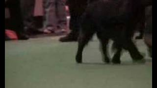 Crufts 2008 Field Spaniel Post Grad Dog Part 3 Cut