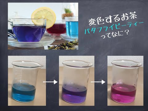 色が変わる青いお茶 バタフライピーティー