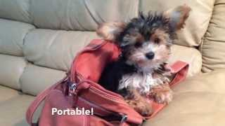 Tiny Morkie - Maltese Yorkie Pups For Sale In Florida - Michelines Pups