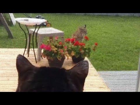 Showdown Between House Cat 'Pinkerton' And Bobcat In Alberta