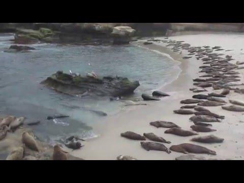 Harbor seals La Jolla May 4, 2016