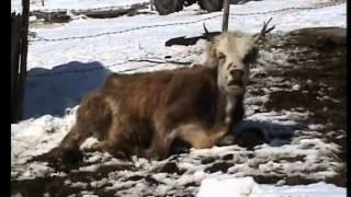 Hido Muratovic - Sestrama Slobodanki i Miroslavki uginule krave