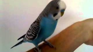 Учу попугая говорить
