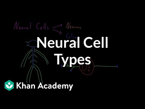Introduction to neural cell types   Organ Systems   MCAT   Khan Academy