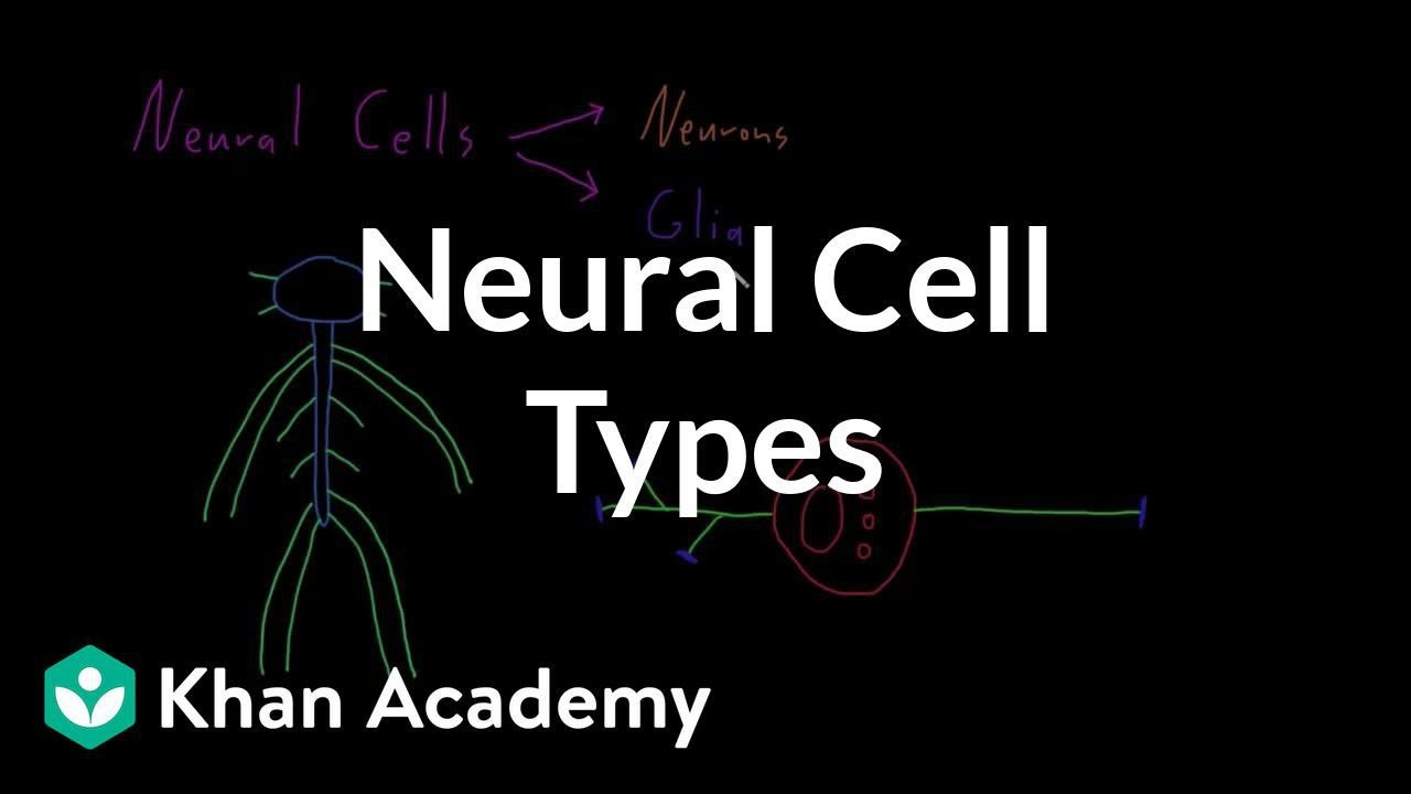 Introduction to neural cell types (video) | Khan Academy