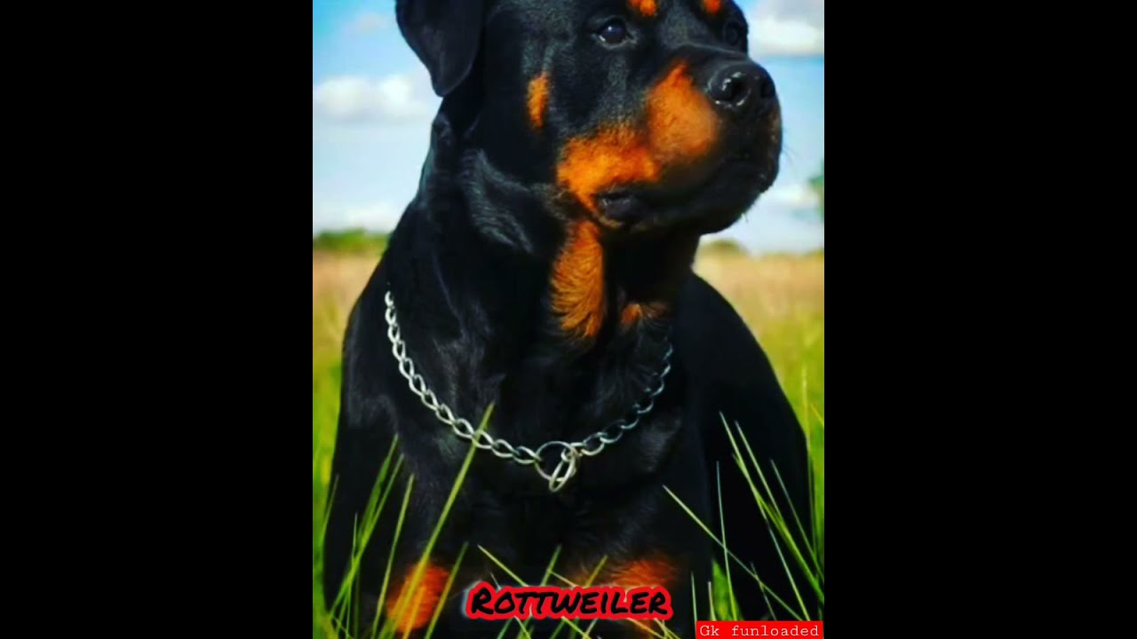 are rottweilers single master dog)