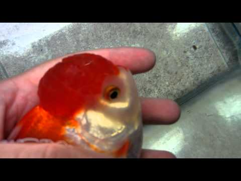 Oranda With Wen Injury, Popeye And Possibly Pineconing