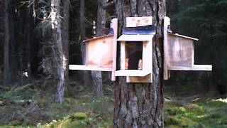 Red Squirrel In A Feeder Box