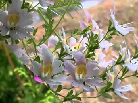 Схизантус растения.