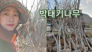 박태기나무 -  신라조경농원