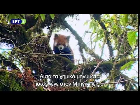 Red panda - Cherub of the Mist | Tα μυστικά του κόκκινου πάντα