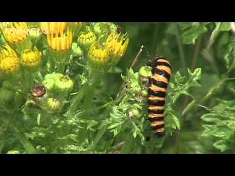 The Cinnabar Moth and Ragwort by Paul Edwards