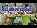 Masteran Jenis Jenis Burung Jalak Paling Populer  Mp4