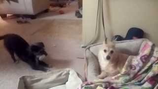 Rat Terrier/maltese & Yorkie-pom Playing -  Patchy & Casey!