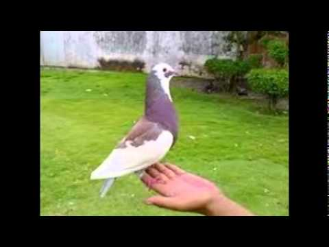 Unduh 103 Foto Gambar Burung Merpati Blantong HD Terbaru Gratis